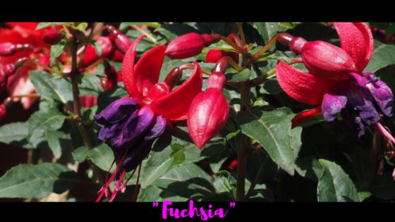 Фуксия – это оттенок розового?